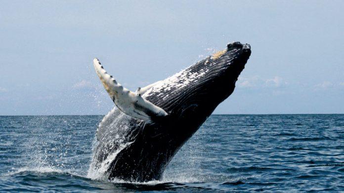 Estudio del comportamiento de la ballena jorobada a través de los sonidos. Grada 133. Universidad de Extremadura