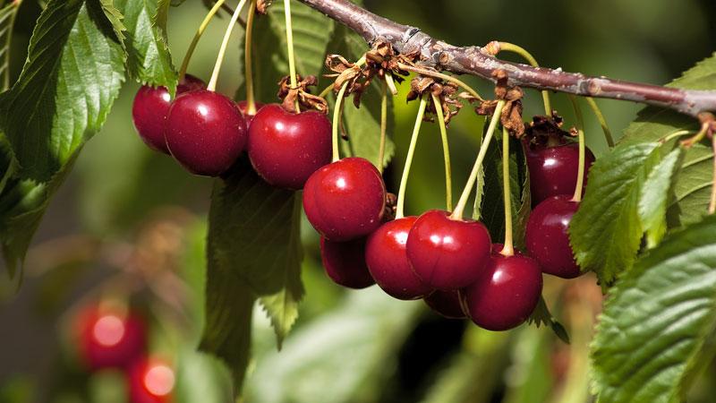 El Consejo Regulador de la Cereza del Jerte ha comenzado a certificar las primeras cerezas de la variedad Navalinda