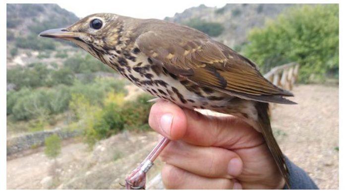 Adenex anilla 183 aves de 17 especies diferentes antes de su viaje migratorio