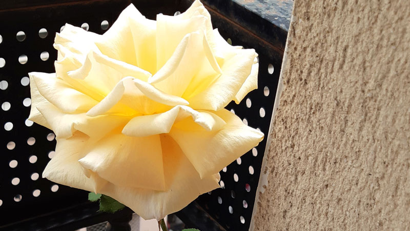 Una de rosas. Carolina Mogollón Rodríguez