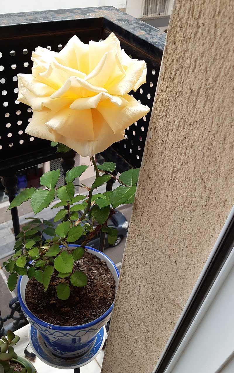 La rosa de A. y L. Un balcón cualquiera de Badajoz
